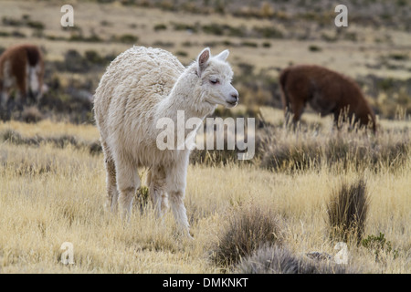 Alpaka in the peruvian highlands - Stock Photo
