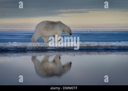 Polar bear walking on spit of snow covered Barter Island with reflection in water of Kaktovik Lagoon Alaska USA - Stock Photo