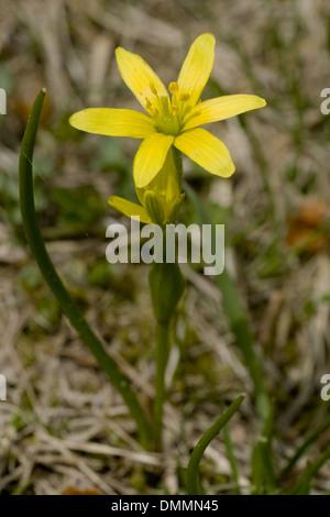 yellow gagea, gagea fistulosa - Stock Photo