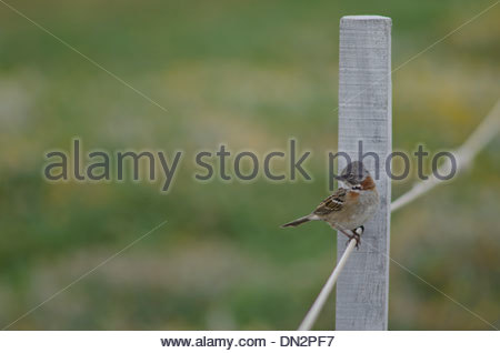 Rufous-collared Sparrow (Zonotrichia capensis) sitting on rope. - Stock Photo