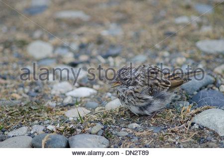 Juvenile Rufous-collared Sparrow (Zonotrichia capensis) feeding on the ground. - Stock Photo