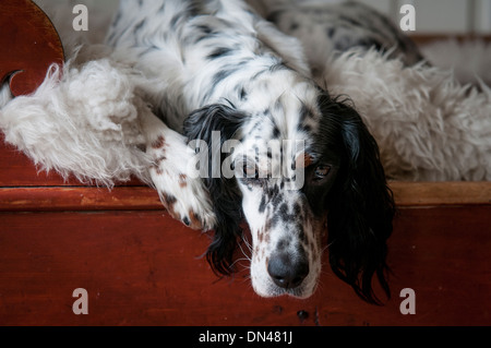 English setter dog lying in a red bed on top of a sheepskin - Stock Photo