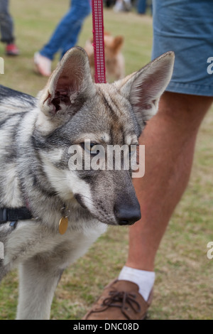Northern British Inuit Wolf Dog (Canis l. familiaris). Selectively bred breed with outward appearance of ancestral - Stock Photo
