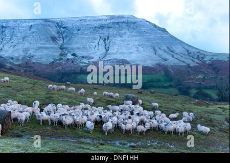 Hay Bluff, Powys, UK. 24th December 2013. Sheep congregate at a winter feeding area. Near gale force winds, hail - Stock Photo