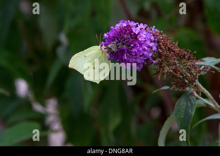 Common Brimstone (Gonepteryx rhamni) butterfly feeding on a Buddleja flower in a garden near Wedmore, Somerset, - Stock Photo