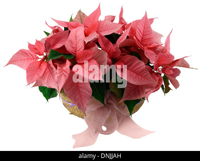 Poinsettia flower arrangement in a wicker basket isolated on white. - Stock Photo