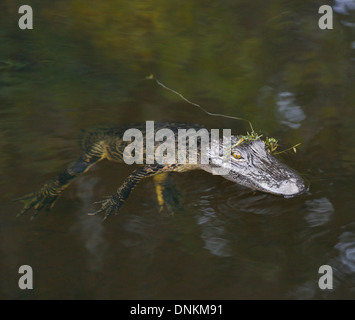 Young American Alligator In Water - Stock Photo