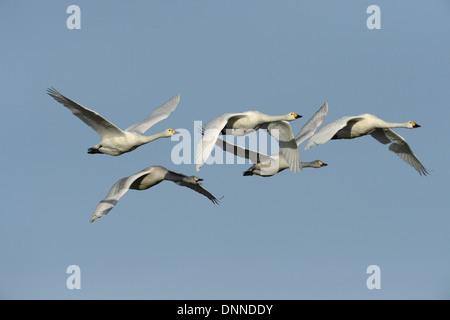 Bewick's Swan Cygnus columbianus - Stock Photo