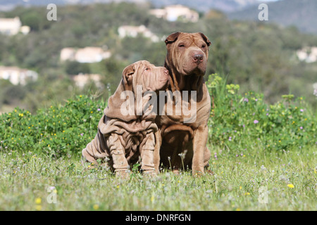 Dog Shar pei /  adult and puppy sitting in a meadow - Stock Photo