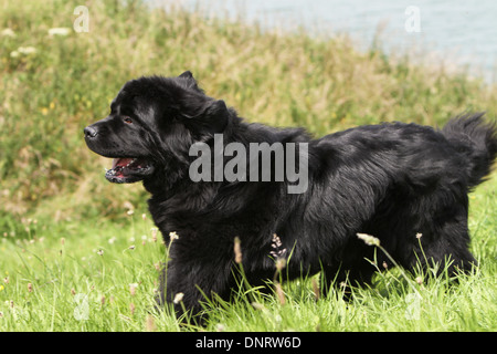 Dog Newfoundland /  adult running in a meadow - Stock Photo