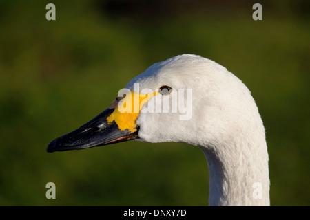 Close up headshot of Bewick's Swan Cygnus Columbianus against green background - Stock Photo