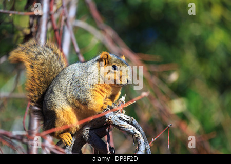 The Fox Squirrel (Sciurus niger), also called the eastern fox squirrel or Bryant's Fox Squirrel are the largest - Stock Photo