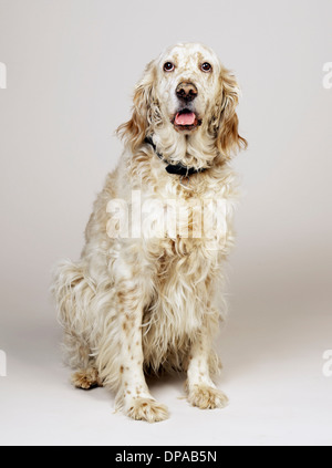 English Setter with mouth open - Stock Photo