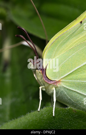 A male Brimstone butterfly (Gonepteryx rhamni) rests on foliage at La Breole in the French Alps - Stock Photo