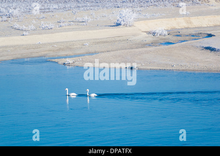 Mute swan (Cygnus olor) couple (pair) swimming on a morning winter - Stock Photo