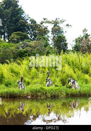 Ring Tailed Lemurs in Madagascar. - Stock Photo