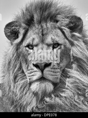 Portrait of Male Lion in Black and White - Stock Photo