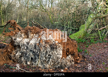 A fallen tree blown over by the wind in woodland - Stock Photo