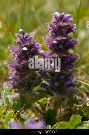 Pyramidal Bugle, Ajuga pyramidalis in flower in high alpine pastures, Pontic Alps, Turkey. - Stock Photo