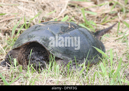 The Snapping Turtle is the largest freshwater turtle found in Canada. Found in the dry grass near a swampy area. - Stock Photo
