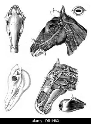 Farriery  Horse head cross section - Stock Photo