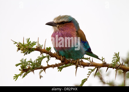 Lilac breasted Roller, Coracias caudatus - Stock Photo