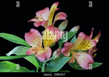 Peruvian lily (Alstroemeria x hybrid) - Stock Photo
