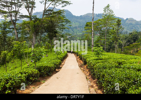 Path in a tea plantation, tea-growing area, Udapalatha, Central Province, Sri Lanka - Stock Photo