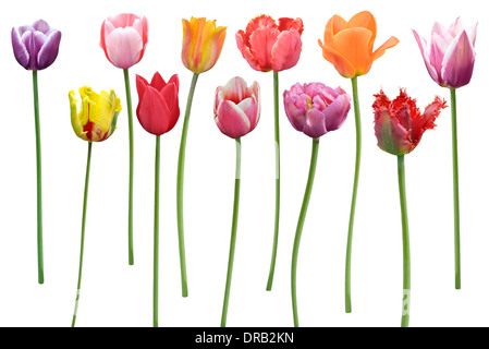 Colorful Tulips Flowers In A Row Isolated On White Background - Stock Photo