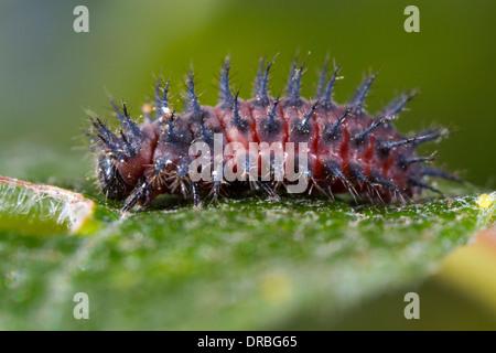 Kidney-spot Ladybird (Chilocorus renipustulatus) full-grown larva on a sallow leaf. Powys, Wales. September. - Stock Photo