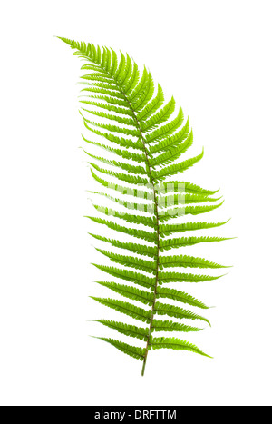 fern branch isolated on white - Stock Photo