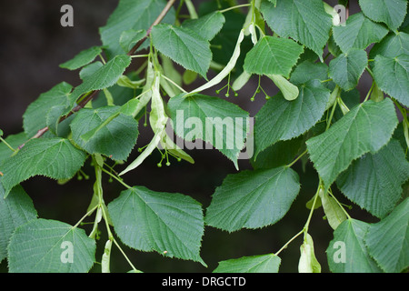 Common Lime (Tilia X europaea). Leaves and growing fruits. June. Sussex. England. - Stock Photo