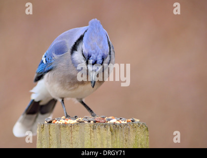 A blue jay perched on a post with bird seed. - Stock Photo