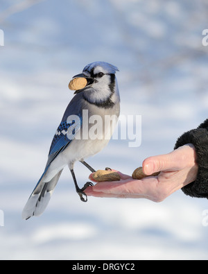 A blue jay perched on a hand with a peanut. - Stock Photo