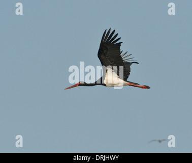 Black Stork - Ciconia nigra - Stock Photo
