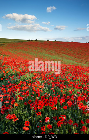 A field full of poppies growing on the South Downs, East Sussex - Stock Photo