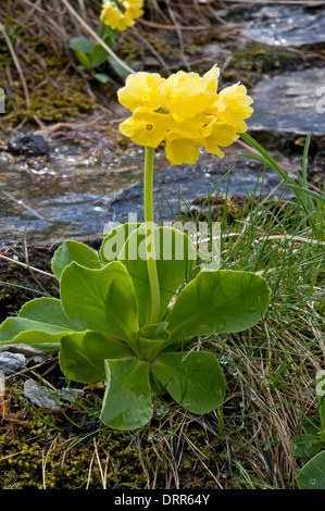 Primula auricula or mountain cowslip in the Swiss Alps - Stock Photo