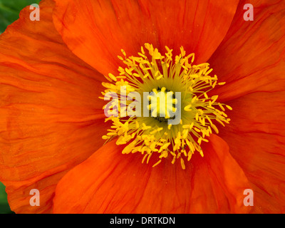 Bright red Papaver poppy flower detail with central yellow pistil and stamens closeup - Stock Photo
