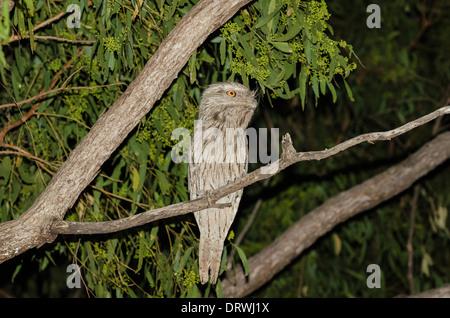 Tawny Frogmouth Podargus strigoides - Stock Photo
