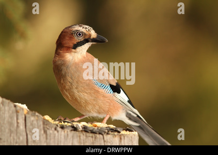 eurasian jay ( garrulus glandarius ) standing on a spruce stump lured with sunflower seeds - Stock Photo