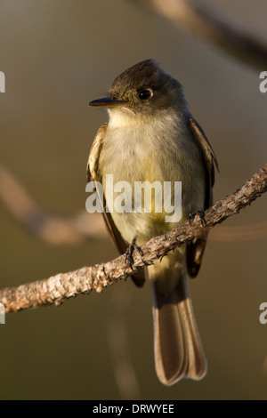 Cuban Pewee (Contopus caribaeus) perched on a branch - Stock Photo