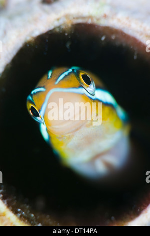 Bluestriped Fangblenny, Plagiotremus rhinorhynchos, Close up of face poking out of hole, Halmahera, Maluku Islands, - Stock Photo
