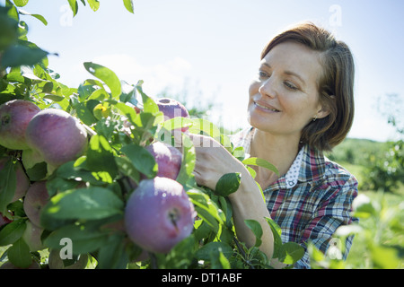 Woodstock New York USA woman in plaid shirt picking apples fruit tree - Stock Photo