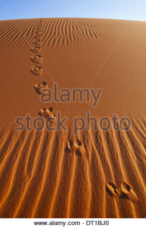 Namib-Naukluft National Park Namibia Vulpes chama Cape fox tracks in Namib-Naukluft - Stock Photo