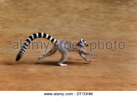 Madagascar Ring-tailed lemur running Lemur catta Madagascar - Stock Photo