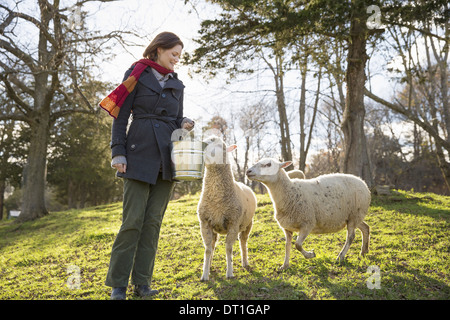 A woman in a pen with two sheep - Stock Photo