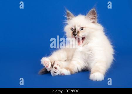 Siberian forest kitten is sitting on blue background - Stock Photo