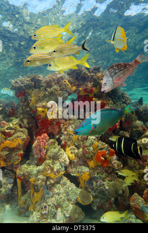Underwater scenery in a coral reef with tropical fish and colorful marine life, Caribbean sea, Bay islands, Roatan, - Stock Photo