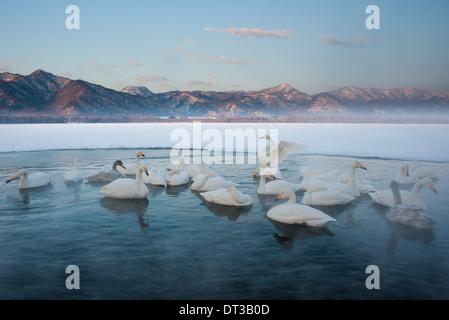 Cygnus cygnus, Whooper swans, on a frozen lake in Hokkaido. - Stock Photo