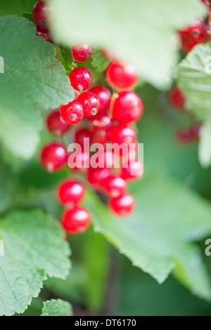 Closeup of bush with ripe redcurrant berries growing in garden. - Stock Photo